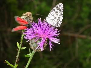 Zwitserse vlinder