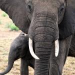 Afrikaanse olifant met jong